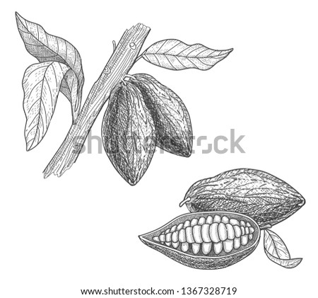 Cocoa beans and cocoa tree. Hand drawn vector illustration fol label and menu.