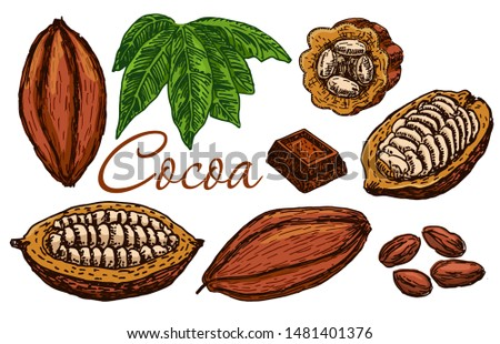Cocoa beans, cocoa leaves, cocoa branch with fruits of cocoa, chocolate. Elements are isolated. Chocolate ingredient. Organic healthy food color sketch. Great for banner, poster, label.