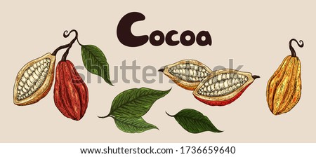 Cocoa set. Organic healthy food sketch. Cocoa beans closeup. Hand drawn  cacao branch with fruits. Great for banner, poster, label.  Cocoa leaves,  seeds, cocoa collection. Superfood cacao.