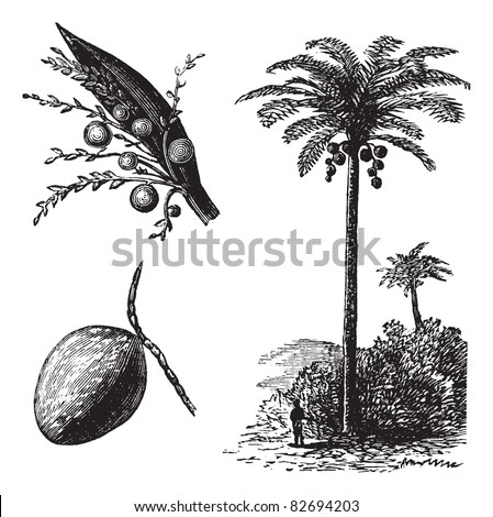 Coconut or Coconut Palm or Cocos nucifera, vintage engraving. Old engraved illustration of a Coconut tree showing flowers and fruit. Trousset encyclopedia (1886 - 1891).