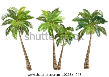 Coconut palm tree (Cocos nucifera). Set of realistic vector illustrations on white background. Foto stock ©