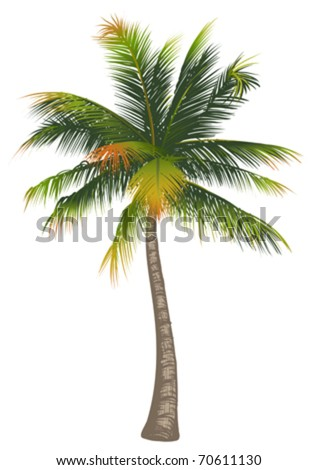 Coconut palm tree on a white background
