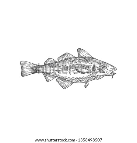 Cod or Codfish Hand Drawn Vector Illustration. Abstract Fish Sketch. Engraving Style Drawing. Isolated. Stock photo ©