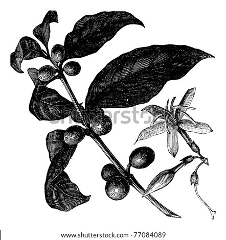 Coffea, or Coffee shrub and fruits, vintage engraving. Vintage engraved illustration of Coffee, seed, fruit and flower isolated against a white background. Trousset encyclopedia.