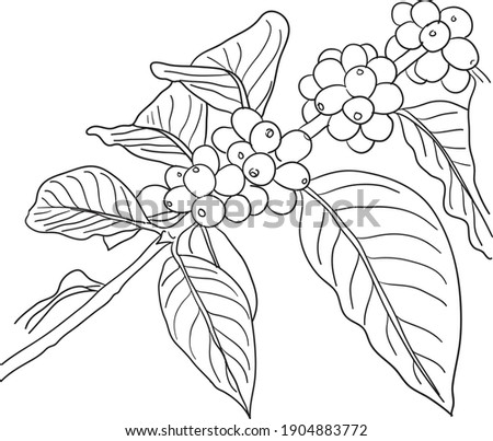 Coffee Plant Drawing At Getdrawings Free Download