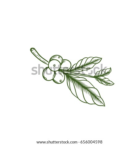 coffee leaf illustration vector