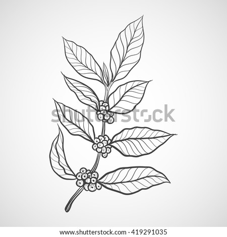 coffee plant with coffee leaf
