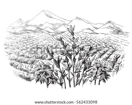coffee plantation landscape in