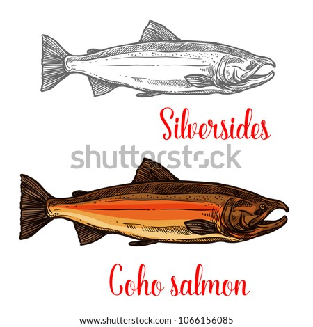 coho salmon fish isolated
