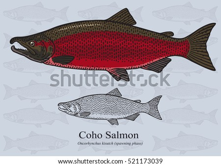 coho salmon  spawning phase