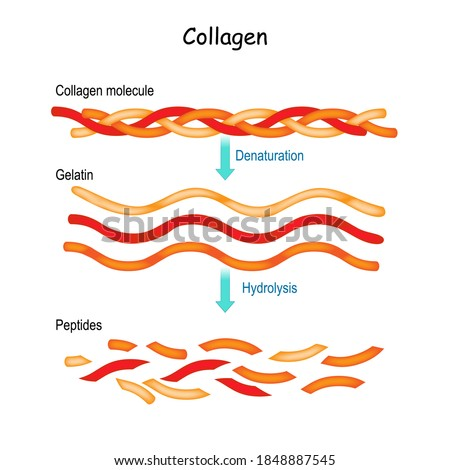 Collagen Hydrolysis and Denaturation. from Collagen molecule to Gelatin and peptides. Photo stock ©