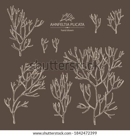 Collection of ahnfeltia plicata: ahnfeltia plicata seaweed, sea kale.  Red algae. Agar agar. Edible seaweed. Vector hand drawn  Stock fotó ©