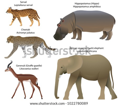 Collection of animals living in the territory of Africa: serval, cheetah, gerenuk, hippopotamus, african savanna elephant