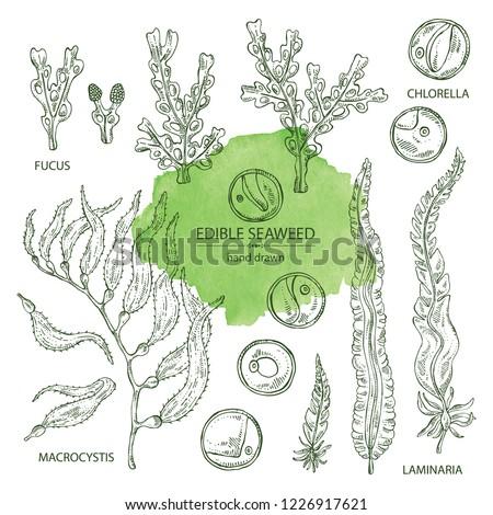 Collection of edible seaweed: laminaria seaweed, macrocystis, chlorella seaweed and fucus. Brown algae. Vector hand drawn illustration.