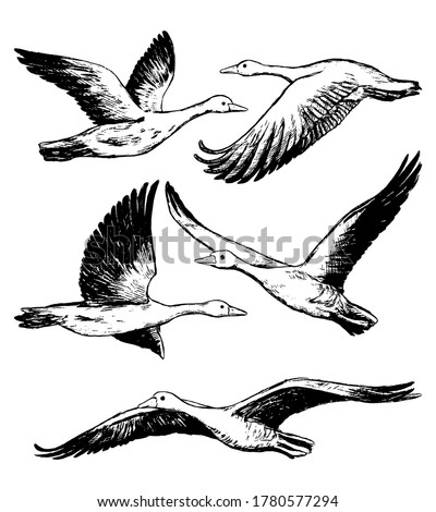 collection of flying greylag