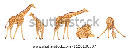 collection of giraffes animals