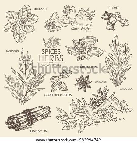 Collection of herbs and spice. Cinnamon, oregano, cloves, cardamom, arugula, coriander, star anise. hand drawn