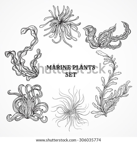 Collection of marine plants, leaves and seaweed. Vintage set of black and white hand drawn marine flora. Isolated vector illustration in line art style.Design for summer beach, decorations.