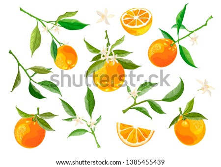 Collection of orange branches and flowers on a white background. Fruit wreath, orange slices. Vector set