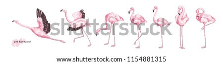 Collection of pink flamingo in various poses isolated on white background. Set of gorgeous exotic bird or tropical avian in different postures. Colorful hand drawn realistic vector illustration