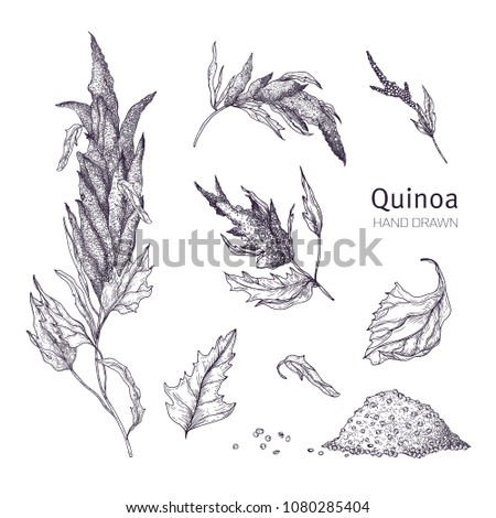 Collection of quinoa flowering plants, leaves and seeds hand drawn with black contour lines on white background. Set of drawings of cultivated grain crops for healthy nutrition. Vector illustration
