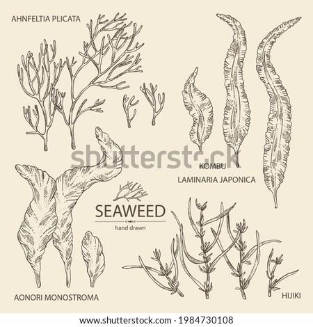Collection of seaweed, algae: aonori, monostroma, sargassum fusiform, hijiki seaweed, kombu, laminaria japonica, ahnfeltia plicata. Green, brown and red algae. Edible seaweed. Vector hand drawn