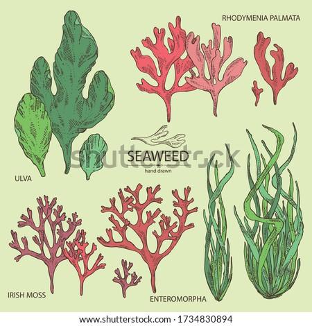 Collection of seaweed, algae: ulva, enteromorpha, rhodymenia palmata,irish moss. Green and red algae. Edible seaweed. Vector hand drawn illustration
