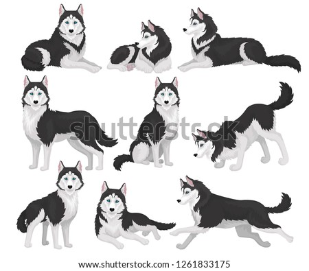 collection of siberian husky in