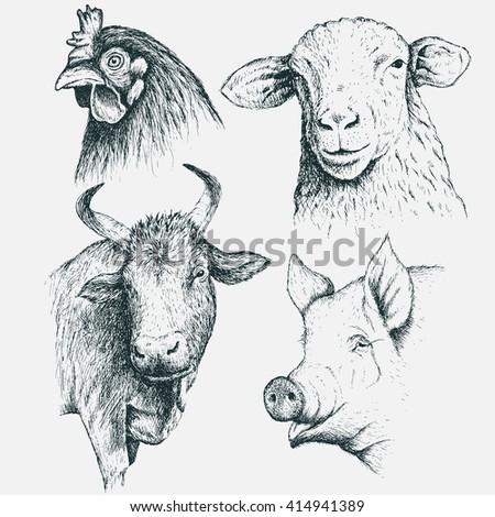 Pig Head Drawing