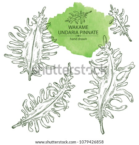 collection of wakame  undaria