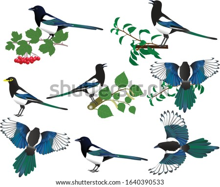 Collection of yellow-billed and black-billed magpies in colour image