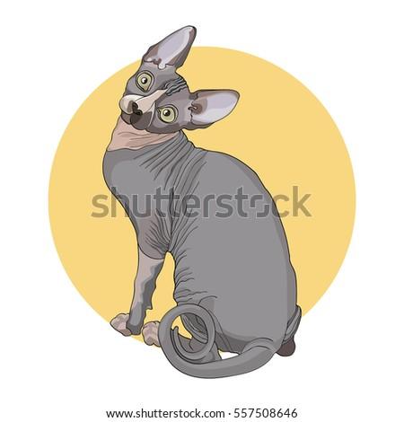 color postcard cat  sphynx on