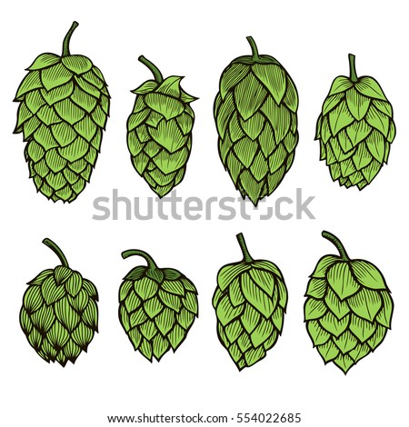 Colored Hand drawn engraving style Hops set. Common hop or Humulus lupulus branch with leaves and cones. Vector illustration