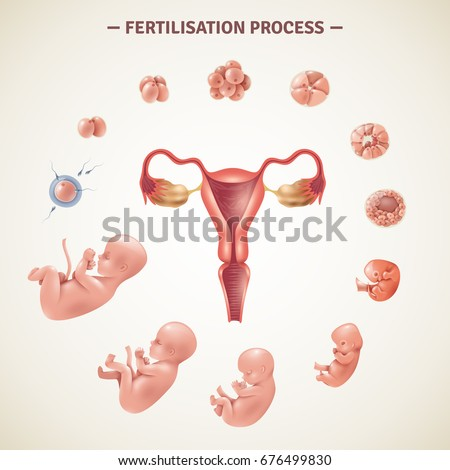 Colored poster with scheme of human fertilization process and embryo development in realistic style vector illustration