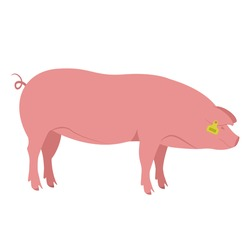 Colored silhouette of a pig with a tag on the ear. Pig farm, smart farm. Suitable for use in infographics, article design, advertising materials, presentations. Color vector simple illustration