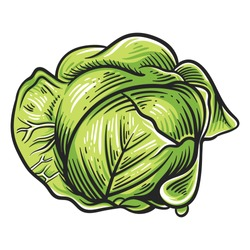 Colorful cabbage illustration isolated on white background