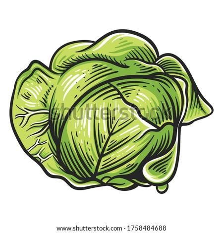 Colorful cabbage illustration isolated on white background