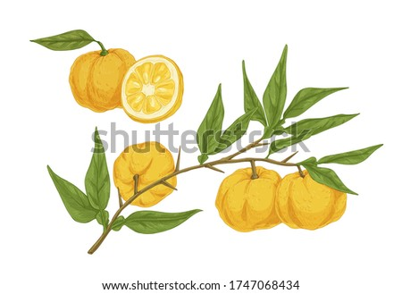 Colorful hand drawn yellow yuzu citrus vector illustration. Fresh appetizing asian fruit on branch with leaves isolated on white background. Detailed half and whole ripe plant in engraving style