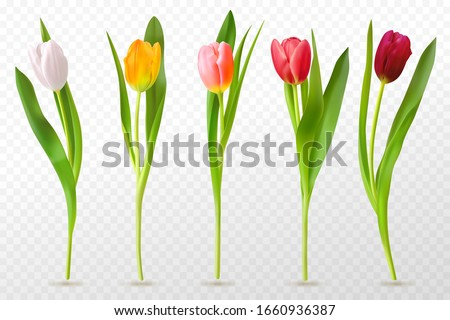 colorful tulips beautiful