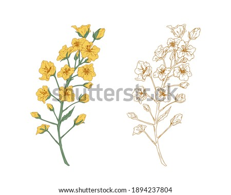 colorful yellow canola flower