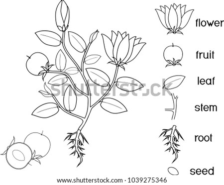 Coloring page. Parts of plant. Morphology of flowering plant with root system, flowers, fruit and titles