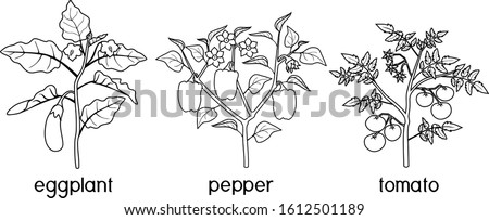 Coloring page with different vegetable nightshade plants (pepper, tomato, and eggplant) with crop. General view of plant isolated on white background ストックフォト ©