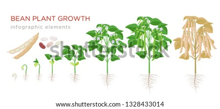Common bean plant growth stages infographic elements in flat design. Planting process of beans from seeds sprout to ripe vegetable, plant life cycle isolated on white background, vector illustration Сток-фото ©