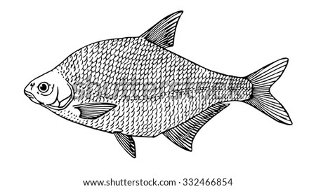 common bream  bronze beam  carp