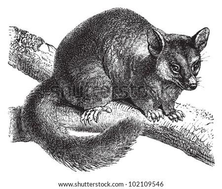 Common brushtail possum (Trichosurus vulpecula) / vintage illustration from Brockhaus Konversations-Lexikon 1908