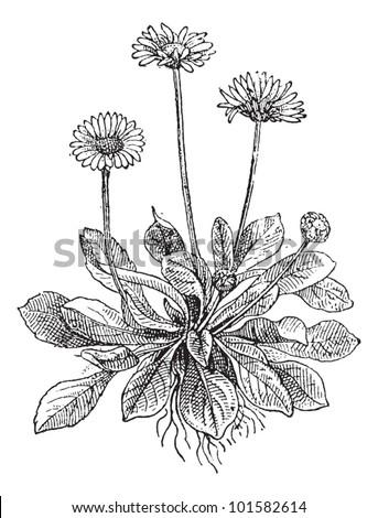 Нарисовать цветок маргаритку