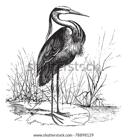 common european heron  ardea...