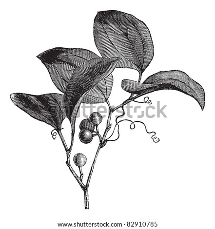 Common Greenbriar or Smilax rotundifolia or Common Greenbrier, vintage engraving. Old engraved illustration of Common Greenbriar isolated on a white background. Trousset encyclopedia (1886 - 1891). - stock vector
