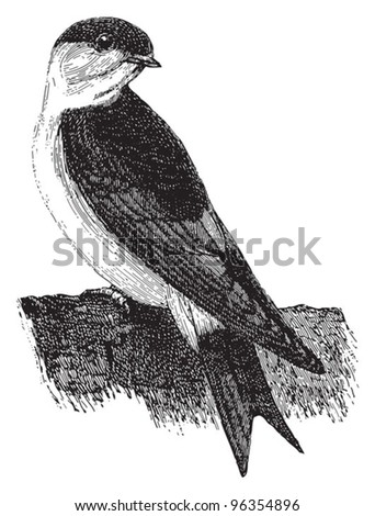 Common House Martin (Delichon urbicum) / vintage illustration from Meyers Konversations-Lexikon 1897