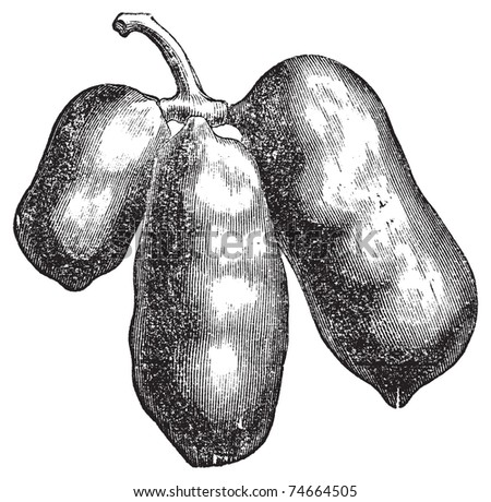 Common pawpaw, papaya or asimina triloba old engraving. Old engraved illustration of the asimina triloba fruit, isolated against a white background